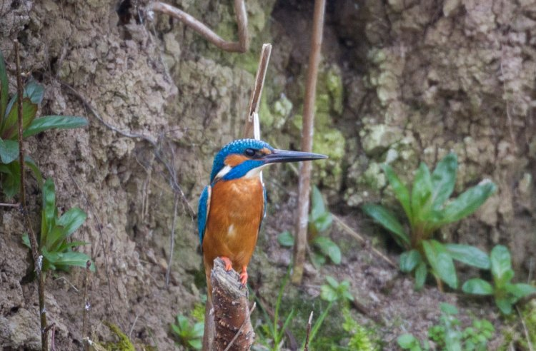 Kingfisher!
